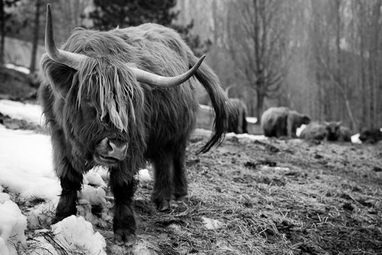 Vache, Glen Sutton, Mars 2010
