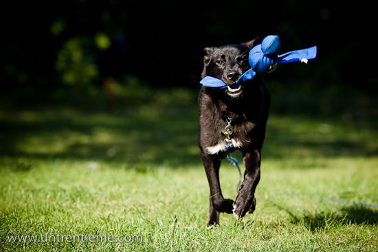 Leica, chien jouant, chien à la course, Août 2010 (© Sébastien Lavallée, 2010)